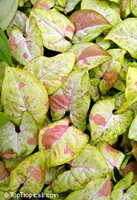 Syngonium podophyllum Confetti  Click to see full-size image