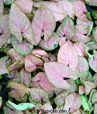 Syngonium podophyllum Regina Red (Pink Allusion)  Click to see full-size image
