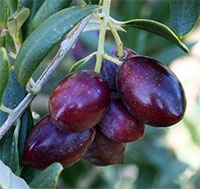 Olea europea - Olive Mazanillo  Click to see full-size image