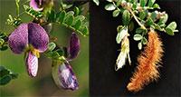 Ormocarpum trichocarpum - Hairy Catterpillar  Click to see full-size image