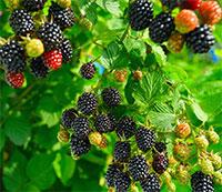 Rubus hybrid - Blackberry Prime-Ark Freedom  Click to see full-size image