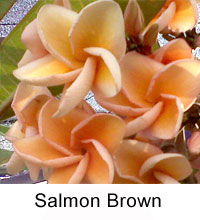 Plumeria Salmon Brown, grafted  Click to see full-size image