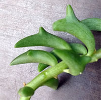 Senecio x peregrinus - String of Dolphins  Click to see full-size image