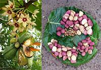 Cola nitida (acuminata) - Cola nut  Click to see full-size image