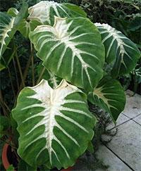 Colocasia esculenta Nancys Revenge (Nancyana)  Click to see full-size image