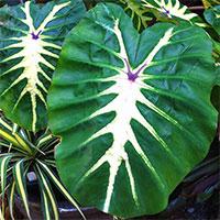Colocasia esculenta White Lava  Click to see full-size image