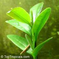 Avicennia germinans, Black Mangrove