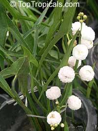 Sagittaria sagittifolia, Hawaii Arrowhead  Click to see full-size image