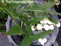 Sagittaria sagittifolia, Hawaii ArrowheadClick to see full-size image