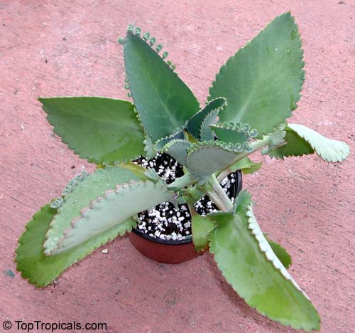 Kalanchoe Sp Click To See Full Size Image