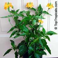 Crossandra infundibuliformis, Crossandra undulifolia Yellow, Yellow CrossandraClick to see full-size image