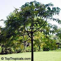 Pachira glabra, Bombax glabrum, French Peanut, Guiana Chestnut, Provision Tree, Money Tree, Saba Nut  Click to see full-size image