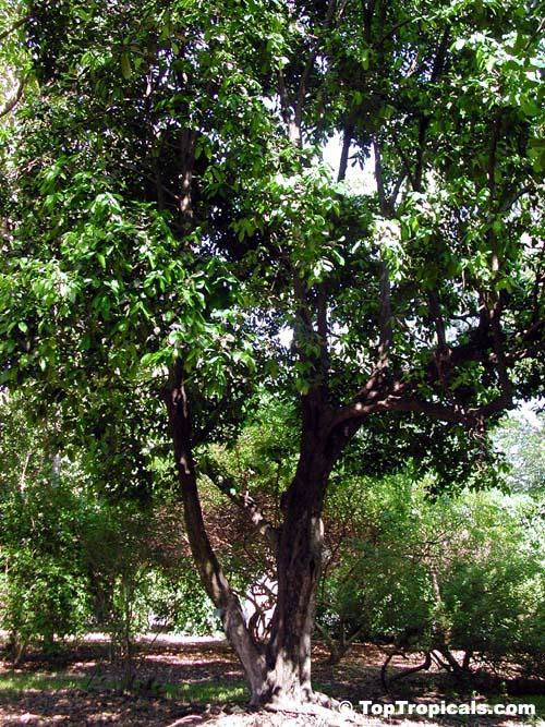 Diospyros Digyna Diospyros Obtusifolia Black Sapote