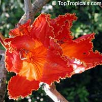 Spathodea campanulata, African Tulip Tree, Scarlet Bell Tree, Fountain TreeClick to see full-size image