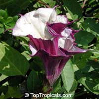 Datura metel, Purple Horn-of-Plenty, Jimpson Weed, Devils Weed