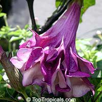 Datura Purple Queen double - seeds
