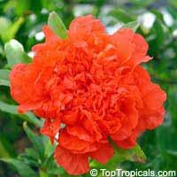 Punica granatum Flore Pleno, Flowering Pomegranate, Noshi Shibari, Double Flower PomegranateClick to see full-size image