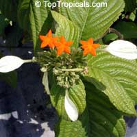 Mussaenda frondosa, Schizomussaenda  Click to see full-size image