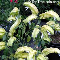 Justicia brandegeana lutea, Beloperone lutea cv. Yellow Queen, Yellow Shrimp plant