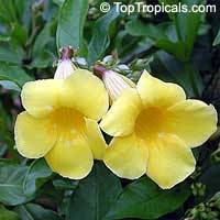 Allamanda cathartica - Yellow Allamanda Bush  Click to see full-size image