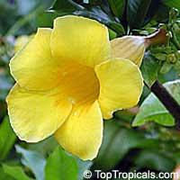 Allamanda cathartica, Allamanda nerifolia, Golden Trumpet Shrub  Click to see full-size image