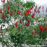 Erythrina humeana, Coral bean, Dwarf coral tree  Click to see full-size image