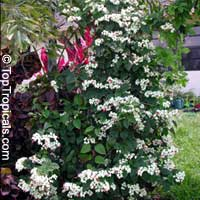 Clerodendrum thomsoniae, Bleeding heart, Glory bower, Clerodendron