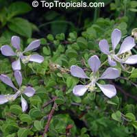 Bauhinia grandidieri, Dwarf Orchid Tree, Dwarf Blue Orchid Tree   Click to see full-size image