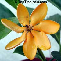 Gardenia tubifera Kula - Golden GardeniaClick to see full-size image