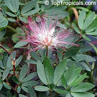 Calliandra riparia, Calliandra schultzei , Pink Powderpuff