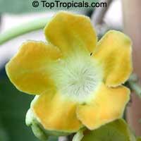 Telosma cordata, Telosma minor, Pakalana vine, Tonkin Jasmine, Cowslip Creeper, TelosomaClick to see full-size image
