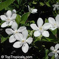 Wrightia antidysenterica, Snowflake, Milky way, Winter Cherry Tree, Arctic Snow, Pudpitchaya, Sweet Indrajao, Hyamaraca  Click to see full-size image