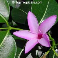 Cryptostegia grandiflora, Rubber vine, Purple AllamandaClick to see full-size image