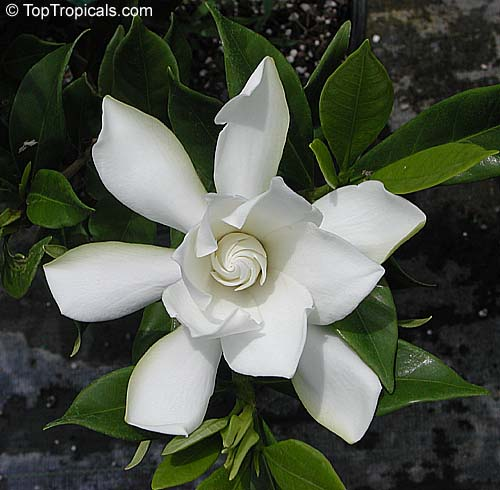 Gardenia Radicans Variegata: Gardenia Radicans, Gardenia Prostrata, Dwarf Gardenia