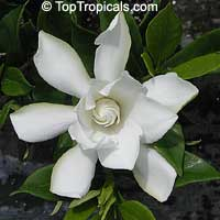 Gardenia Radicans - Dwarf Gardenia, grafted, 3 gal  Click to see full-size image