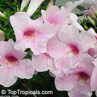 Pandorea jasminoides Rosea - Southern bell, Southern bell