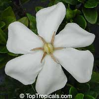 Gardenia White Gem   Click to see full-size image