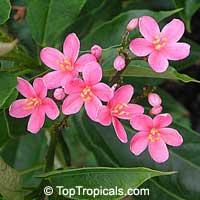 Jatropha integerrima Pink - Peregrina  Click to see full-size image
