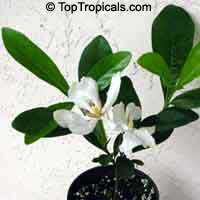 Gardenia vietnamensis, Kailarsenia vietnamensis, Vietnamese Gardenia  Click to see full-size image