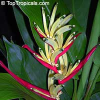 Heliconia psittacorum, Bihai psittacorum, Parrot's heliconia, Heliconia, Parakeet Flower