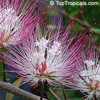 Calliandra schultzii - Dwarf calliandra  Click to see full-size image
