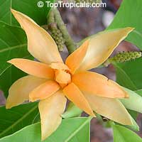 Magnolia (Michelia) champaca Yellow - Joy Perfume Tree, 1 gal pot  Click to see full-size image