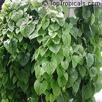 Dioscorea bulbifera, Air Potato  Click to see full-size image