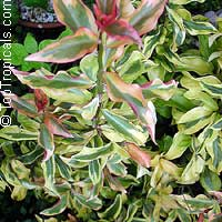 Pereskia aculeata Godseffiana, Lemon Vine, Tsunya, Perescia  Click to see full-size image