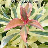 Perescia variegata Godseffiana- Variegated Barbados Gooseberry  Click to see full-size image