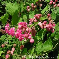 Antigonon leptopus, Mexican Coral Vine, Coral Creeper, Honolulu Creeper, Corallita, Chinese Love Vine
