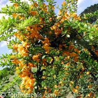 Brya ebenus - Jamaican Rain Tree  Click to see full-size image