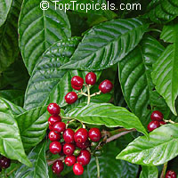 Psychotria nervosa, Psychotria ligustrifolia, Psychotria lanceolata, Psychotria nervosa var. lanceolata, Psychotria portoricensis, Psychotria undata, Wild Coffee, Bahama Coffee, Seminole Balsamo  Click to see full-size image