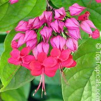Clerodendrum speciosum, Clerodendrum delectum, Bleeding heart, Clerodendron