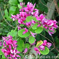 Lespedeza thunbergii, Bush Clover  Click to see full-size image